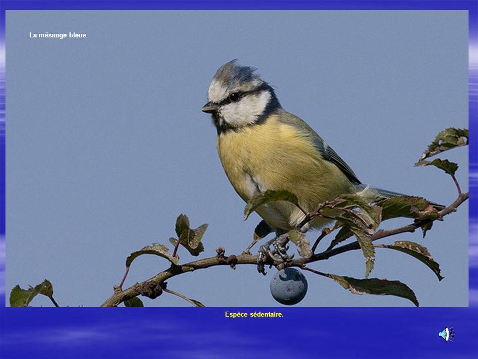 La mésange bleue Plumage caractéristique bleu et jaune. Son poids : 10 à 12 g.Son chant : La mésange bleue.