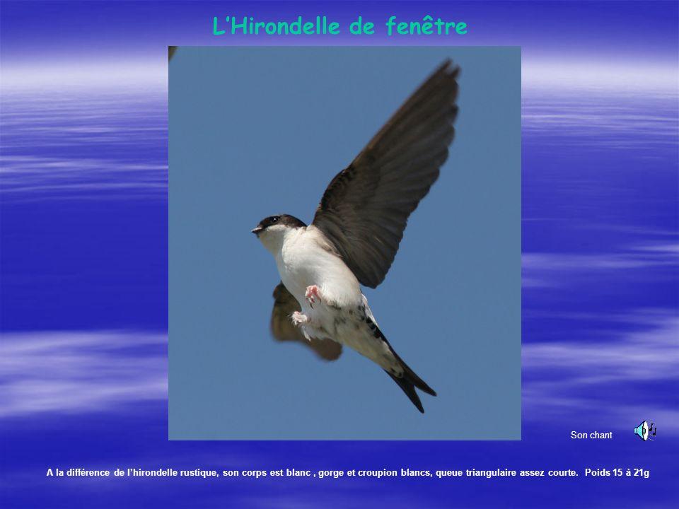 Elle se caractérise par le corps chamois, la face rouge, et une très longue queue. Oiseau migrateur. Poids 16 à 25g. Hirondelle rustique.