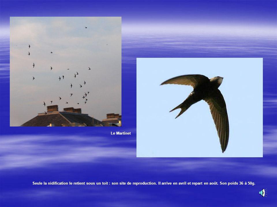 Le Martinet Très grégaire, vole en bandes bruyantes. Oiseau noir, aux ailes très longues. Il passe sa vie dans les airs. Son chant