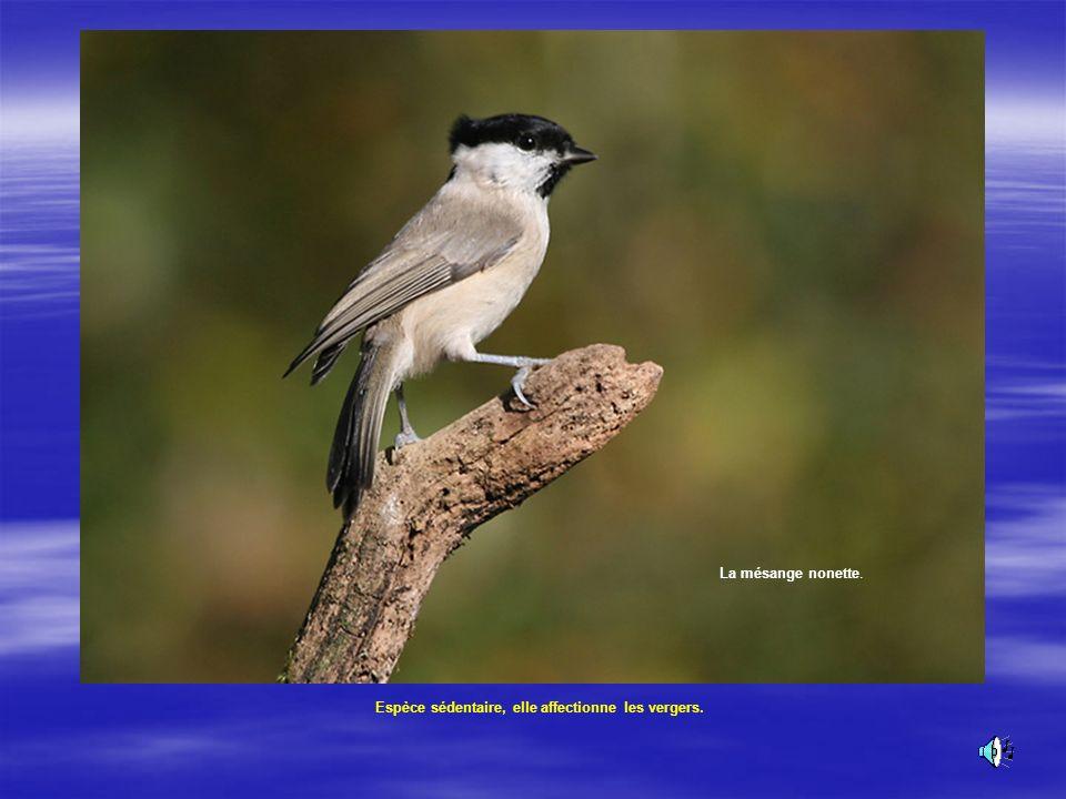 Fauvette à tête noire Elle a une calotte noire chez le mâle et brune chez la femelle.