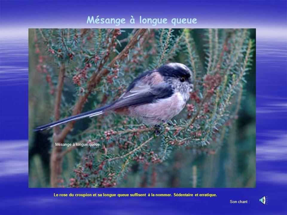 LÉtourneau sansonnet Un oiseau bien connu, qui se regroupe en bandes immenses à l automne.