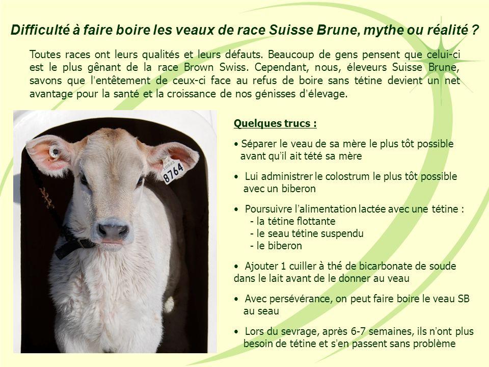 Difficulté à faire boire les veaux de race Suisse Brune, mythe ou réalité ? Quelques trucs : S é parer le veau de sa m è re le plus tôt possible avant