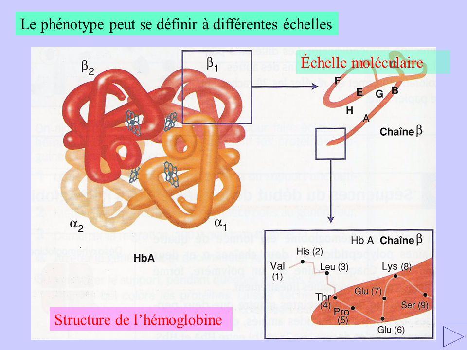 Le phénotype peut se définir à différentes échelles Échelle moléculaire Structure de lhémoglobine