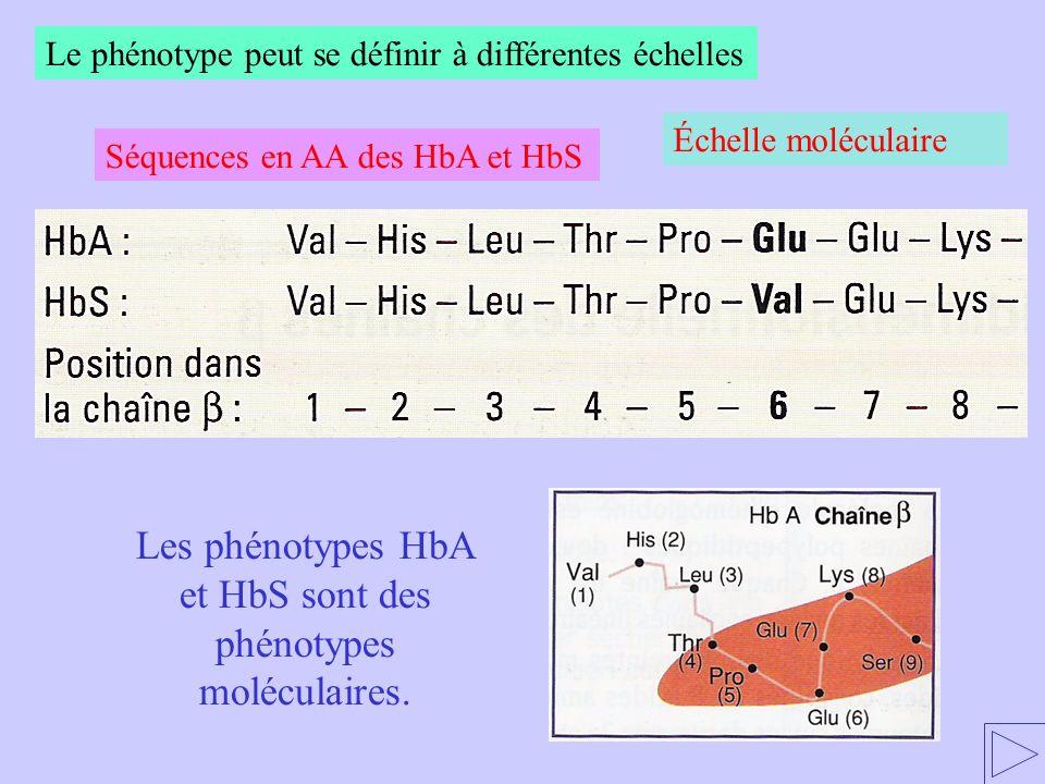 Les phénotypes HbA et HbS sont des phénotypes moléculaires. Séquences en AA des HbA et HbS Le phénotype peut se définir à différentes échelles Échelle