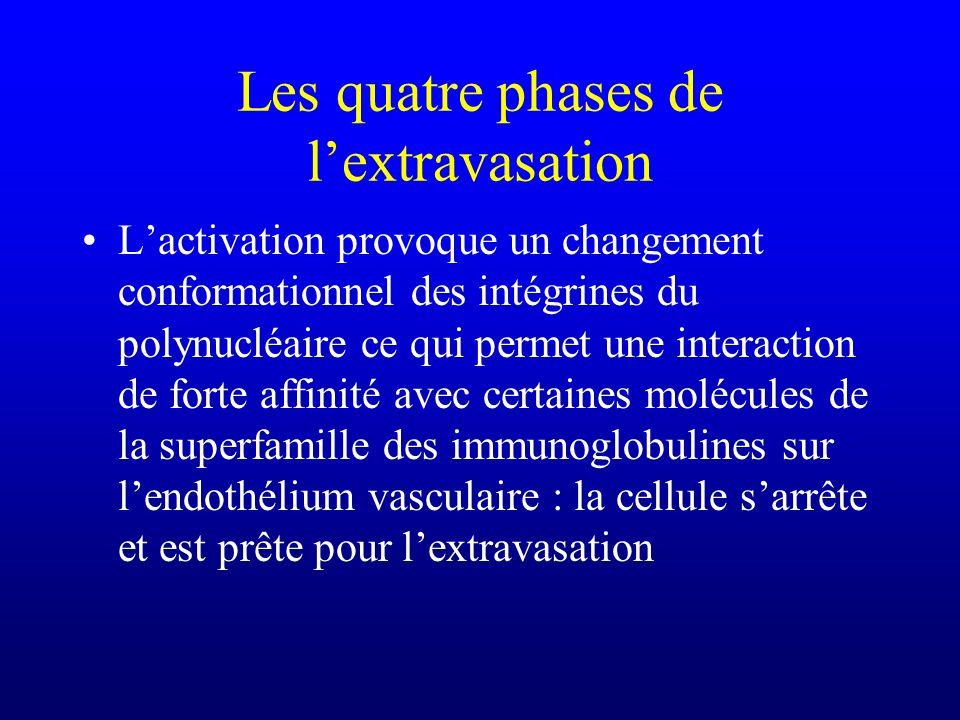 Les quatre phases de lextravasation Lactivation provoque un changement conformationnel des intégrines du polynucléaire ce qui permet une interaction d