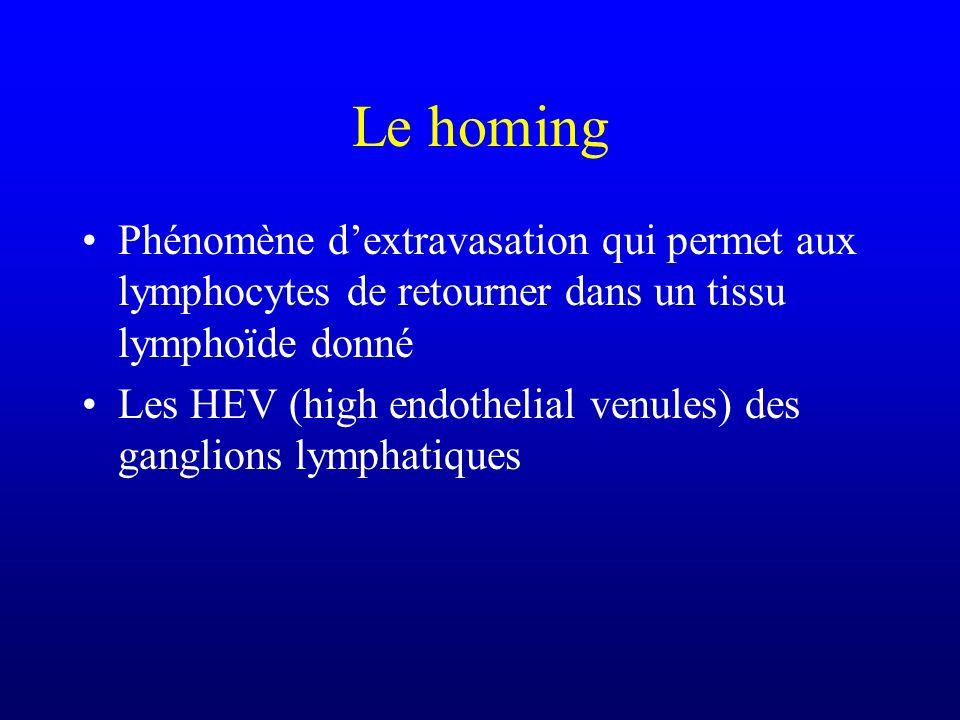 Le homing Phénomène dextravasation qui permet aux lymphocytes de retourner dans un tissu lymphoïde donné Les HEV (high endothelial venules) des gangli