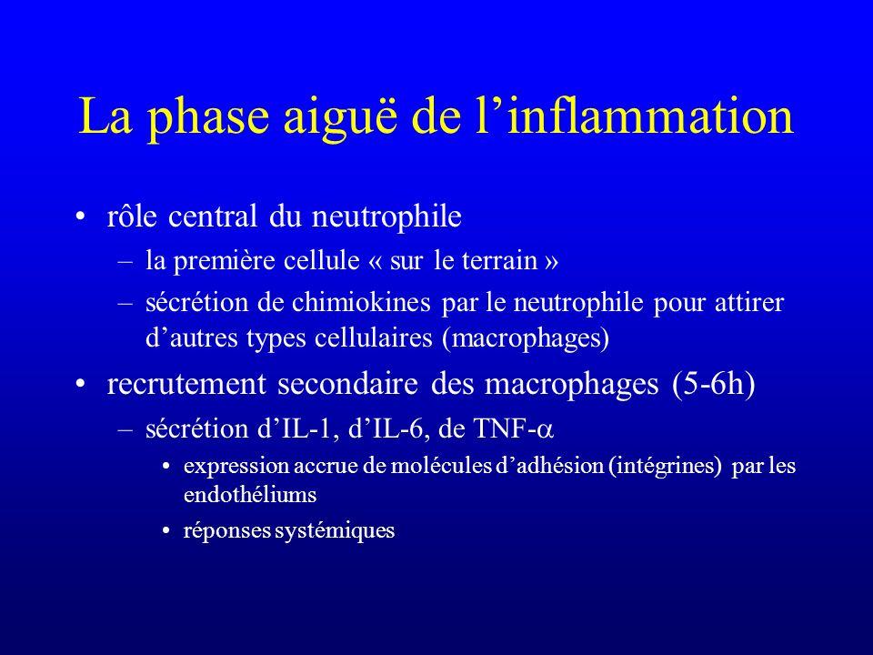 La phase aiguë de linflammation rôle central du neutrophile –la première cellule « sur le terrain » –sécrétion de chimiokines par le neutrophile pour