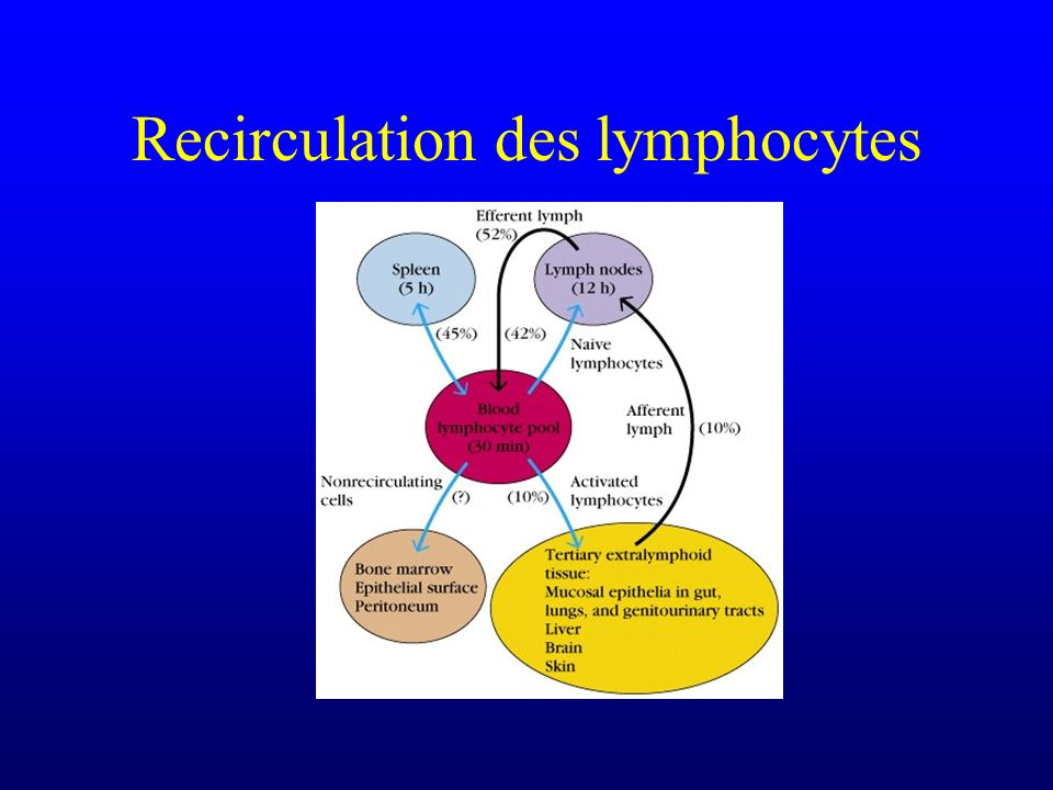 Recirculation des lymphocytes