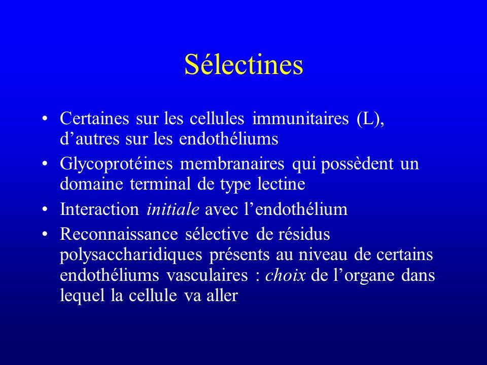 Sélectines Certaines sur les cellules immunitaires (L), dautres sur les endothéliums Glycoprotéines membranaires qui possèdent un domaine terminal de