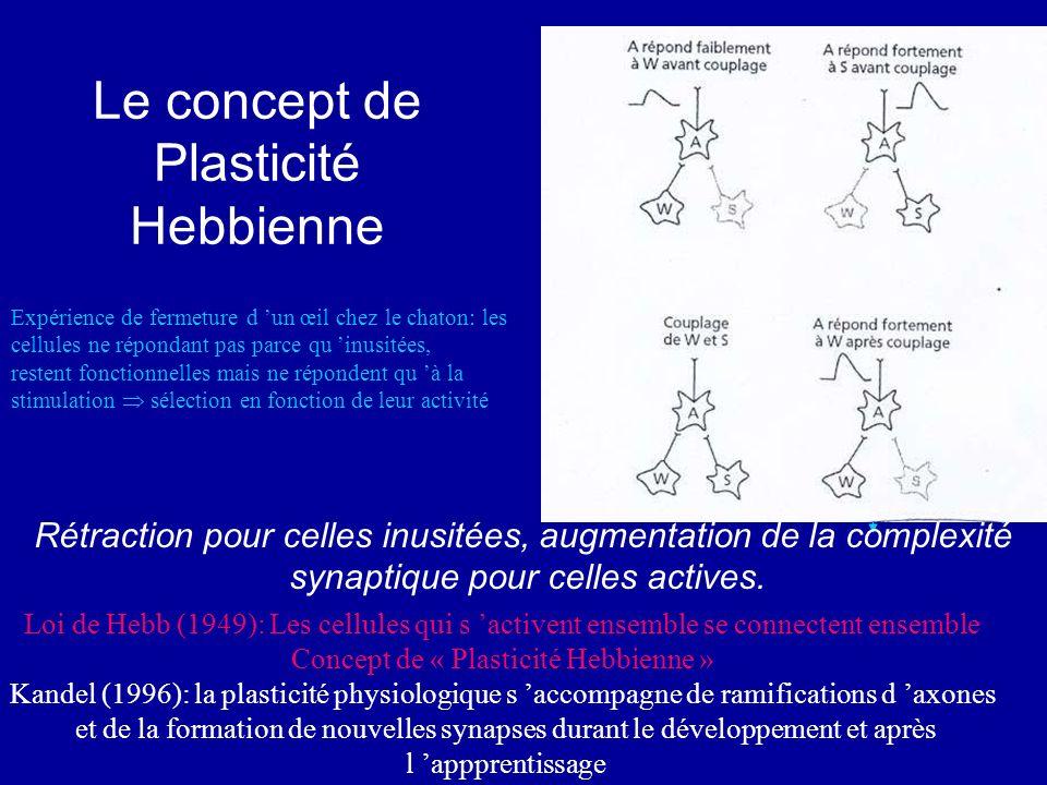 Le concept de Plasticité Hebbienne Rétraction pour celles inusitées, augmentation de la complexité synaptique pour celles actives. Loi de Hebb (1949):