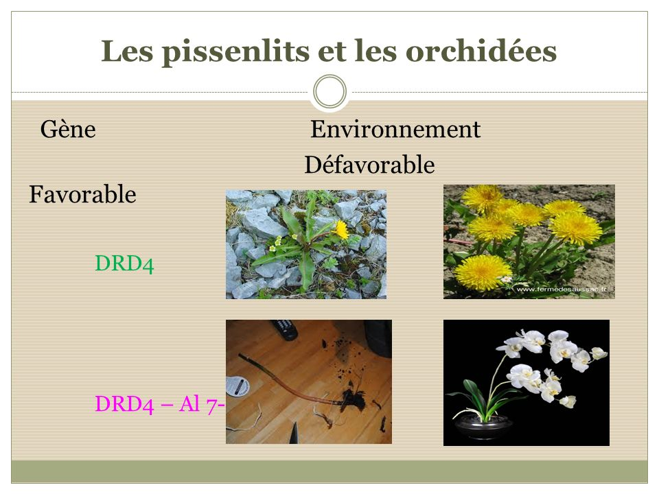 Les pissenlits et les orchidées Gène Environnement Défavorable Favorable DRD4 DRD4 – Al 7-rép.