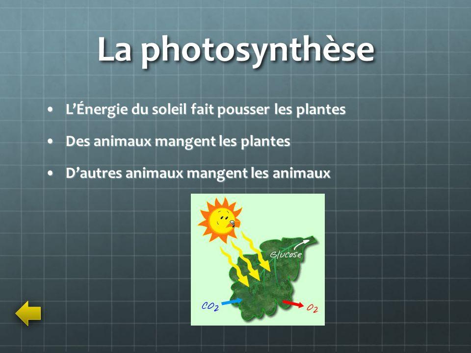 La photosynthèse LÉnergie du soleil fait pousser les plantesLÉnergie du soleil fait pousser les plantes Des animaux mangent les plantesDes animaux man