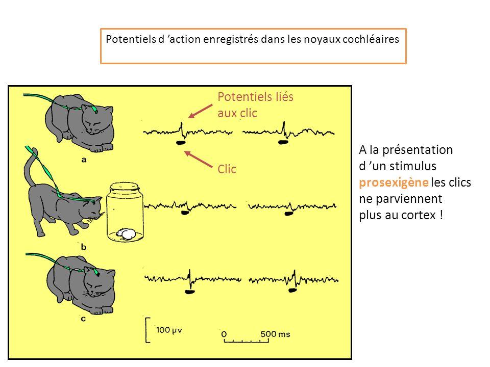 Potentiels d action enregistrés dans les noyaux cochléaires A la présentation d un stimulus prosexigène les clics ne parviennent plus au cortex ! Clic