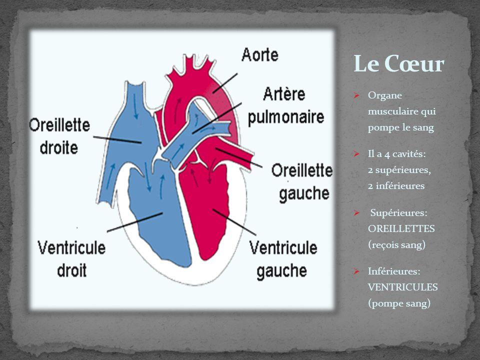 Organe musculaire qui pompe le sang Il a 4 cavités: 2 supérieures, 2 inférieures Supérieures: OREILLETTES (reçois sang) Inférieures: VENTRICULES (pomp