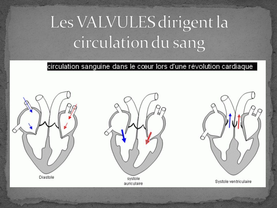 loxygène rentre dans les poumons le dioxyde de carbone sort chauffé et nettoyé par les cils (petits poils dans nez) Traverse larynx (organe vocal) et descend trachée