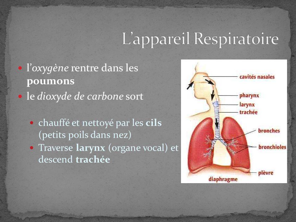 loxygène rentre dans les poumons le dioxyde de carbone sort chauffé et nettoyé par les cils (petits poils dans nez) Traverse larynx (organe vocal) et