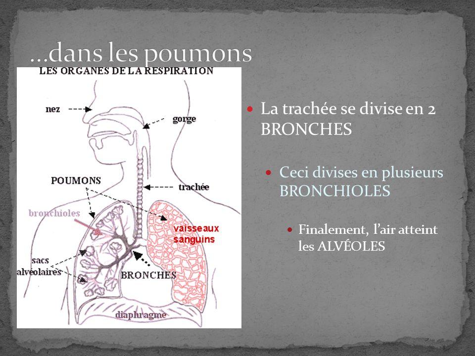 Le sang désoxygéné (du ventricule droite) lache son CO 2 et ramasse loxygène Le sang oxygéné retourne à loreillette gauche