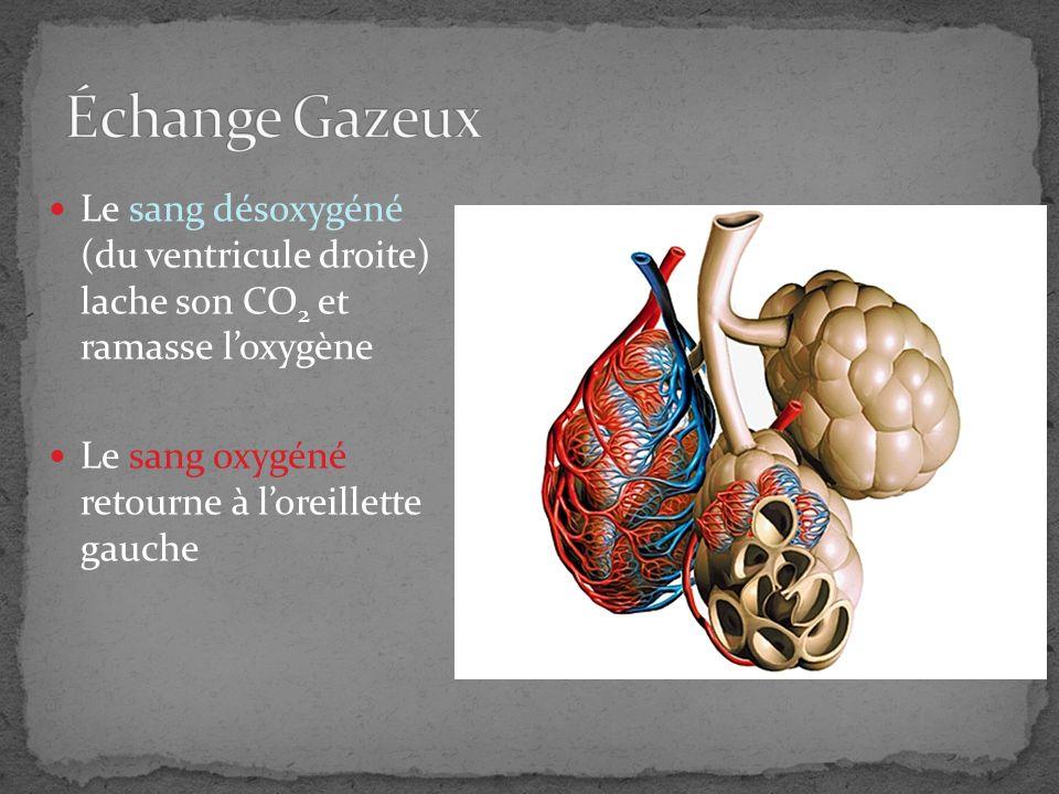 Le ventricule gauche circule le sang oxygéné au reste du corps