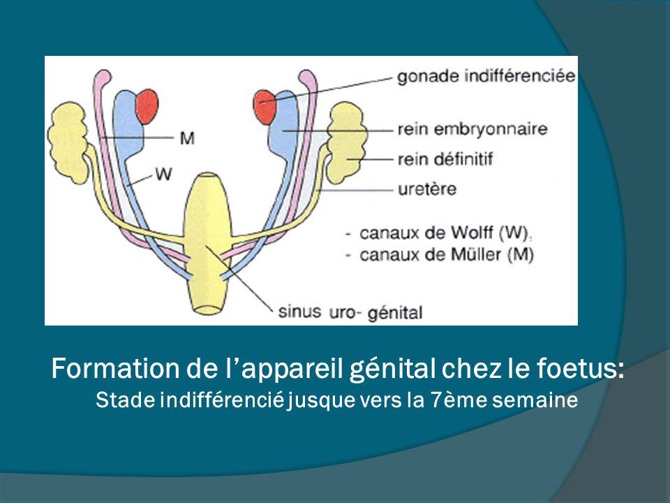 Formation de lappareil génital chez le foetus: Stade indifférencié jusque vers la 7ème semaine