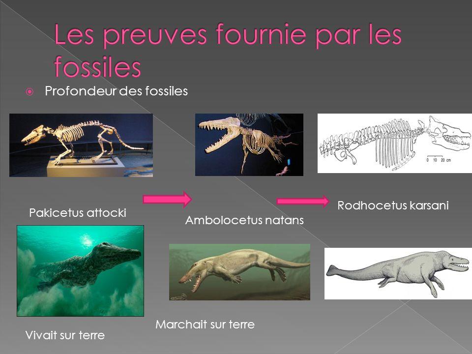 Profondeur des fossiles Pakicetus attocki Ambolocetus natans Vivait sur terre Marchait sur terre Rodhocetus karsani