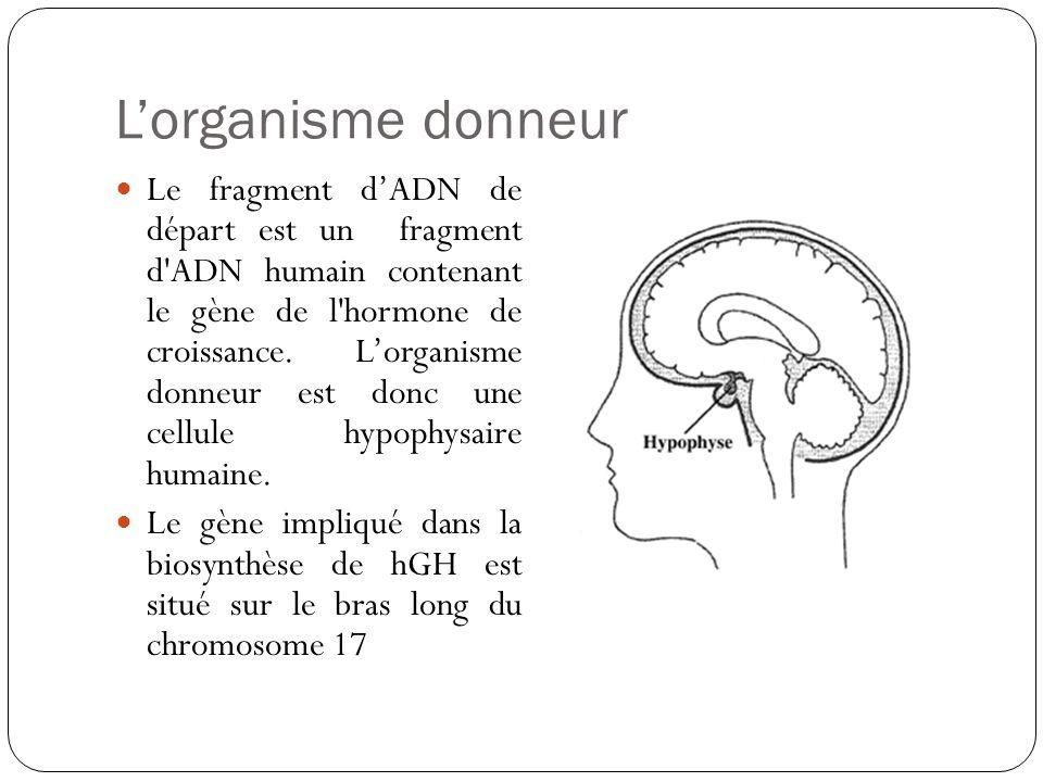 Lorganisme donneur Le fragment dADN de départ est un fragment d'ADN humain contenant le gène de l'hormone de croissance. Lorganisme donneur est donc u