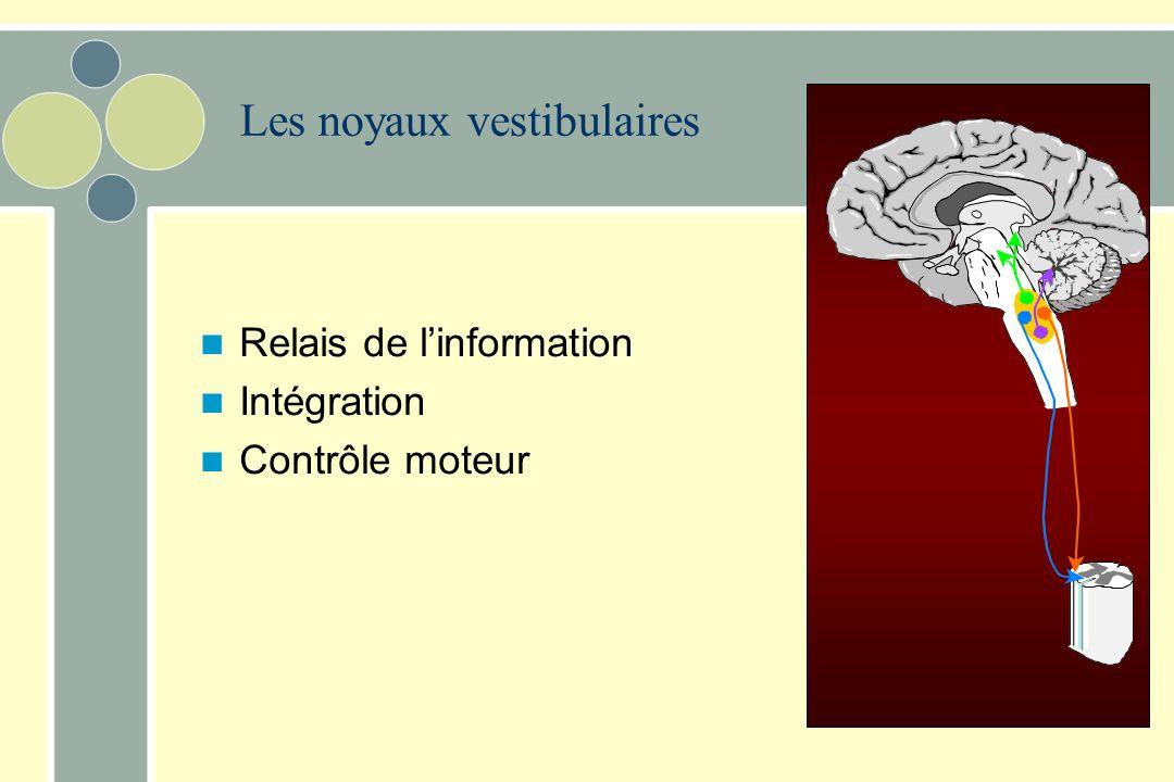 Afférences du système vestibulaire Afférences du nerf vestibulaire projettent aux noyaux vestibulaires –4 parties Noyau vestibulaire supérieur Noyau v
