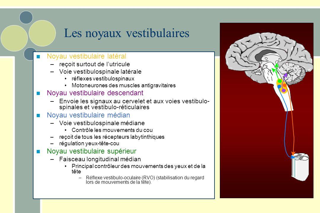 Les noyaux vestibulaires Relais de linformation Intégration Contrôle moteur