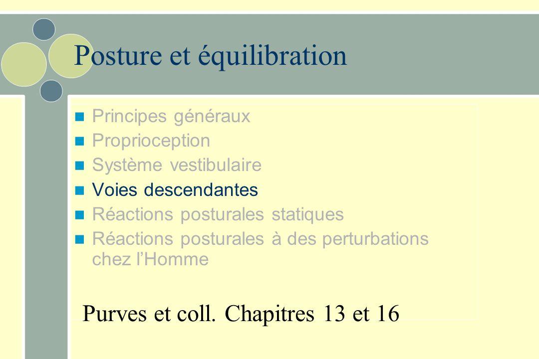 Noyau vestibulaire latéral –reçoit surtout de lutricule –Voie vestibulospinale latérale réflexes vestibulospinaux Motoneurones des muscles antigravita