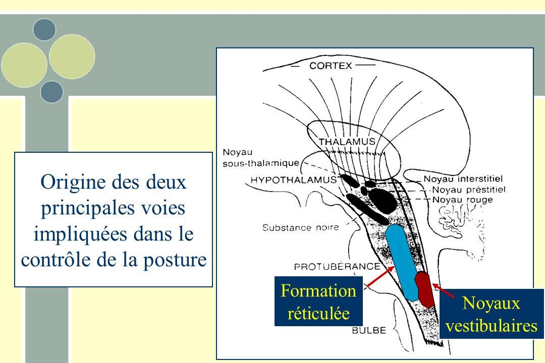 Voies descendantes –Réticulospinale –Posture +++ –Motricité opérante + –Vestibulospinale –Posture +++ –Motricité opérante + –Rubrospinale –Posture + –