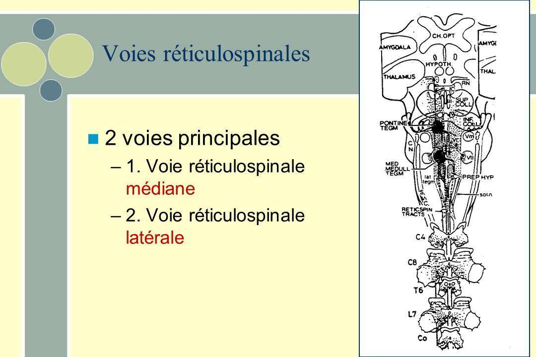 Voies réticulospinales Proviennent de la formation réticulée de la protubérance et du bulbe rachidien –Contrôlent les motoneurones des muscles extense