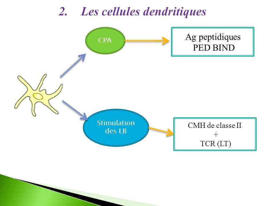CPA Ag peptidiques PED BIND Stimulation des LB CMH de classe II + TCR (LT)