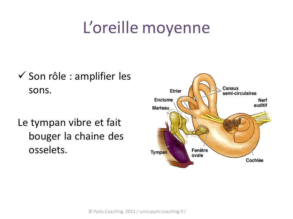 Loreille moyenne Son rôle : amplifier les sons.