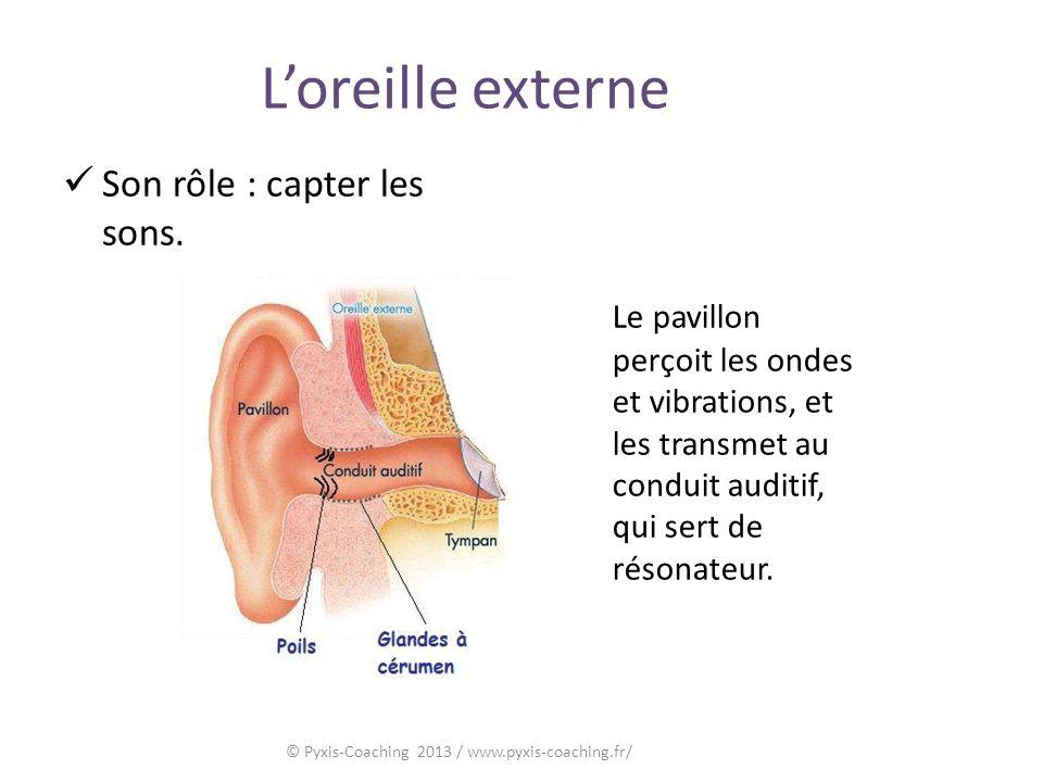 Loreille externe Son rôle : capter les sons.