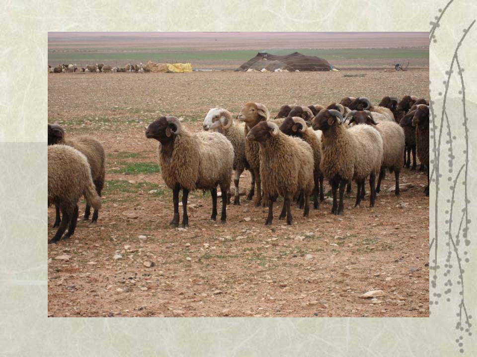 mouton Bni Guil des hauts plateaux de lOriental La Bni guil est une race des hauts plateaux de lOriental (3 000 000 ha) très bien adaptée à la steppe.