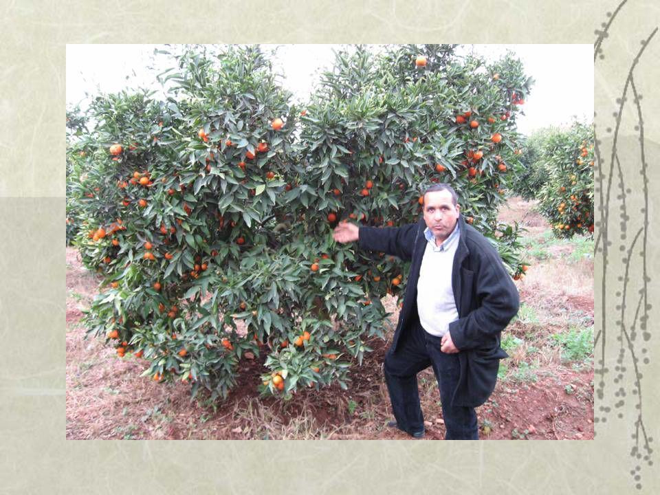 Clémentine de Berkane La zone de production de la clémentine sans pépins représente une capacité denviron 120 000 tonnes/an.