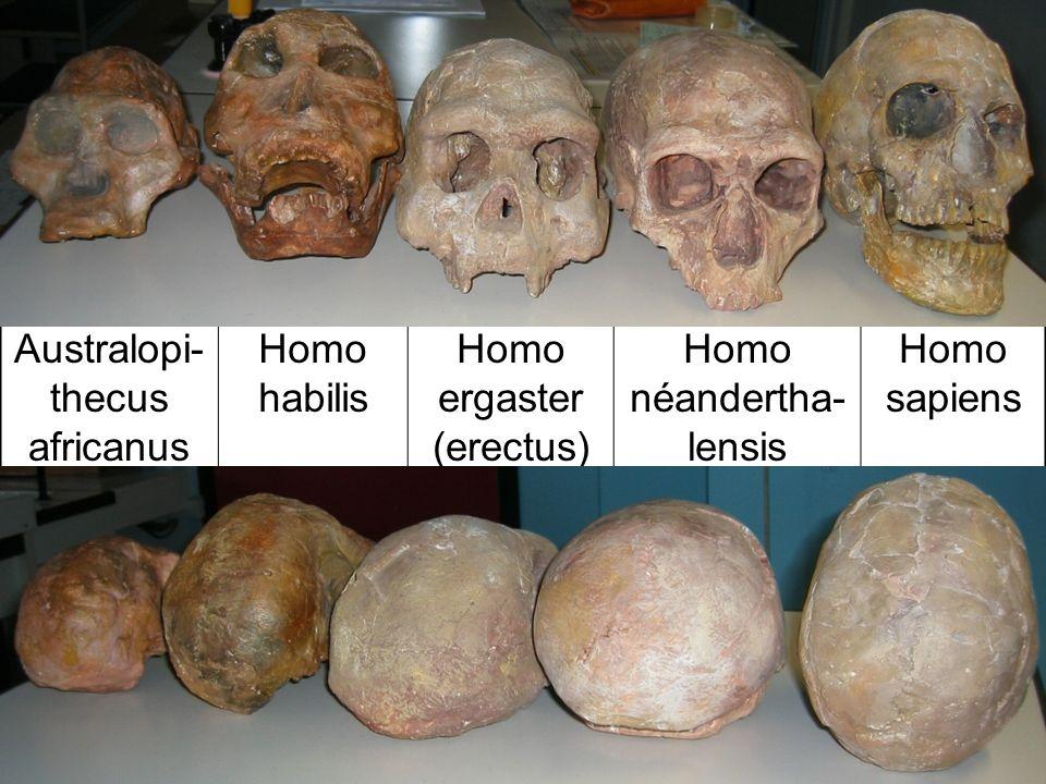 Australopi- thecus africanus Homo habilis Homo ergaster (erectus) Homo néandertha- lensis Homo sapiens