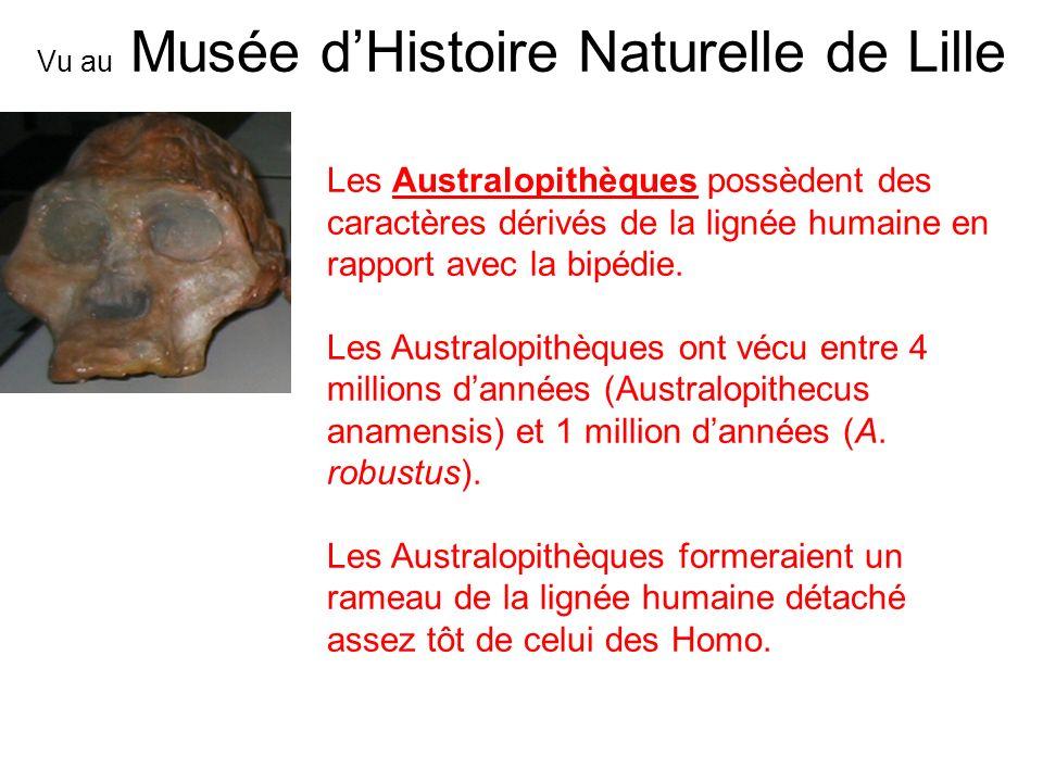 Les Australopithèques possèdent des caractères dérivés de la lignée humaine en rapport avec la bipédie. Les Australopithèques ont vécu entre 4 million