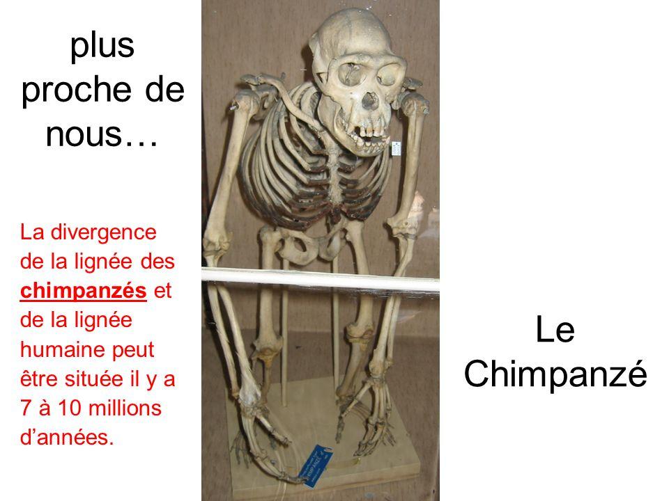 Le Chimpanzé plus proche de nous… La divergence de la lignée des chimpanzés et de la lignée humaine peut être située il y a 7 à 10 millions dannées.