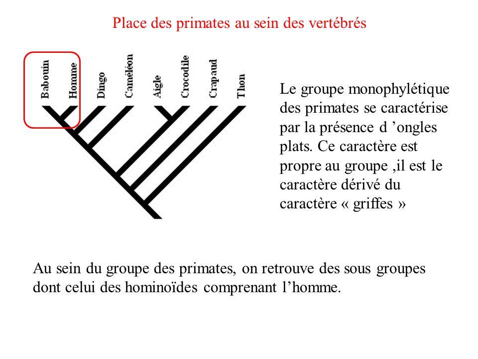 Place des primates au sein des vertébrés Le groupe monophylétique des primates se caractérise par la présence d ongles plats. Ce caractère est propre
