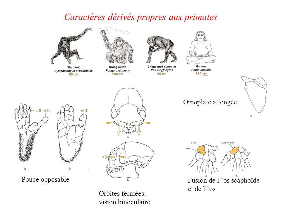 Caractères dérivés propres aux primates Pouce opposable Orbites fermées: vision binoculaire Fusion de l os scaphoïde et de l os Omoplate allongée