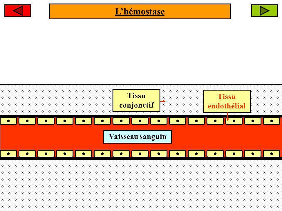 Lendothélium vasculaire est intact.