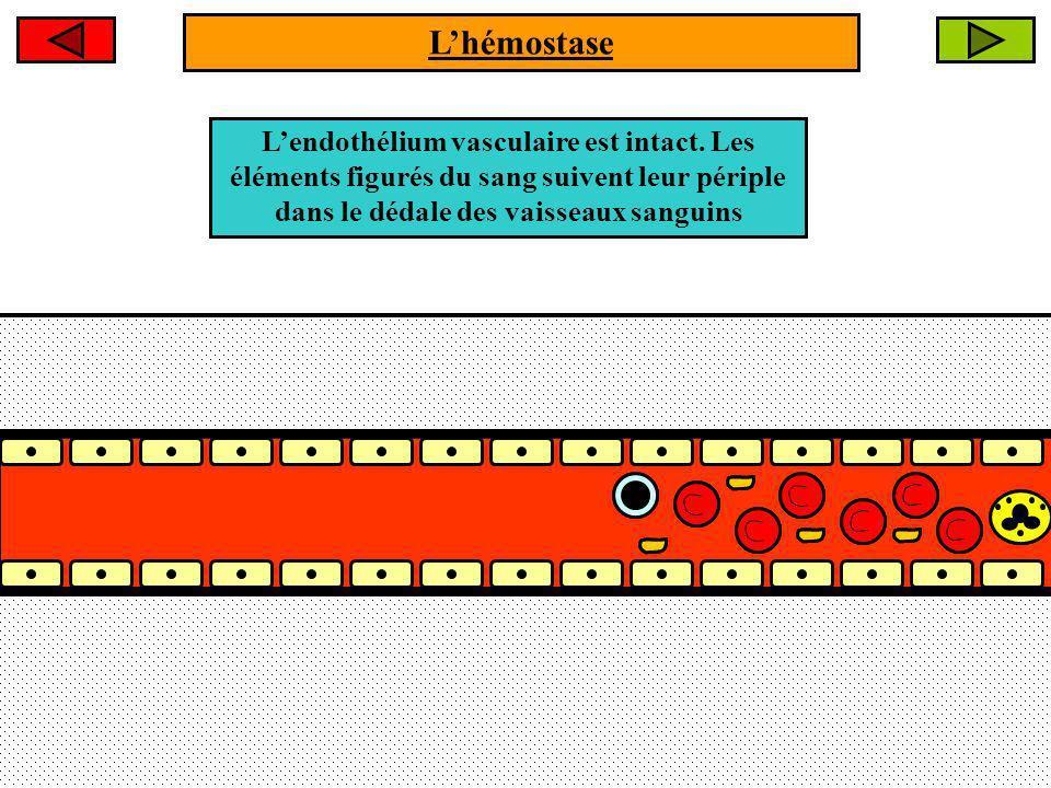 Lendothélium vasculaire est intact. Les éléments figurés du sang suivent leur périple dans le dédale des vaisseaux sanguins Lhémostase