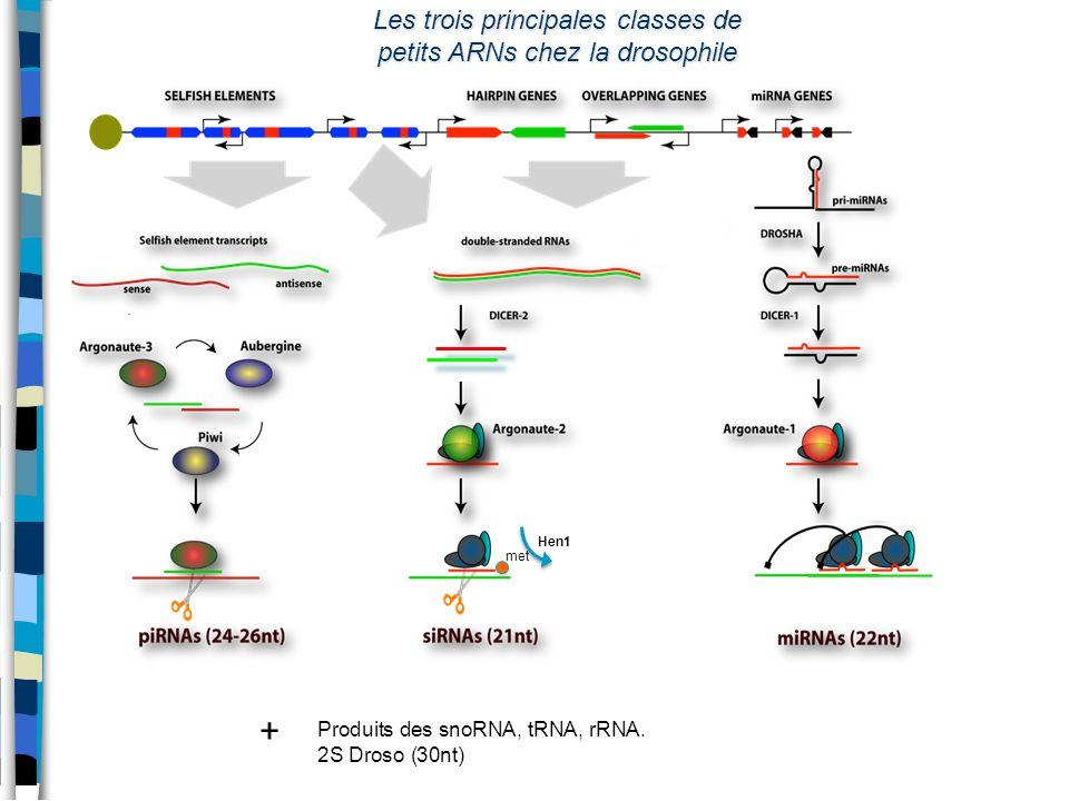 Les trois principales classes de petits ARNs chez la drosophile met Hen1 Produits des snoRNA, tRNA, rRNA. 2S Droso (30nt) +
