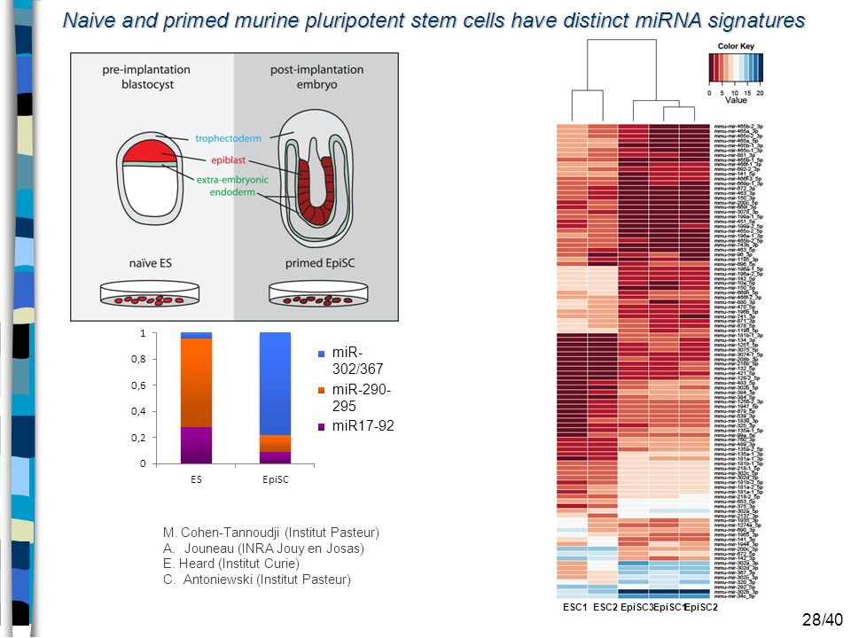 Naive and primed murine pluripotent stem cells have distinct miRNA signatures ESC1ESC2EpiSC2EpiSC1EpiSC3 miR-290- 295 miR- 302/367 miR17-92 28/40 M. C