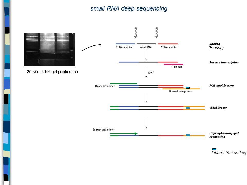 20-30nt RNA gel purification small RNA deep sequencing (Biases) Library Bar coding