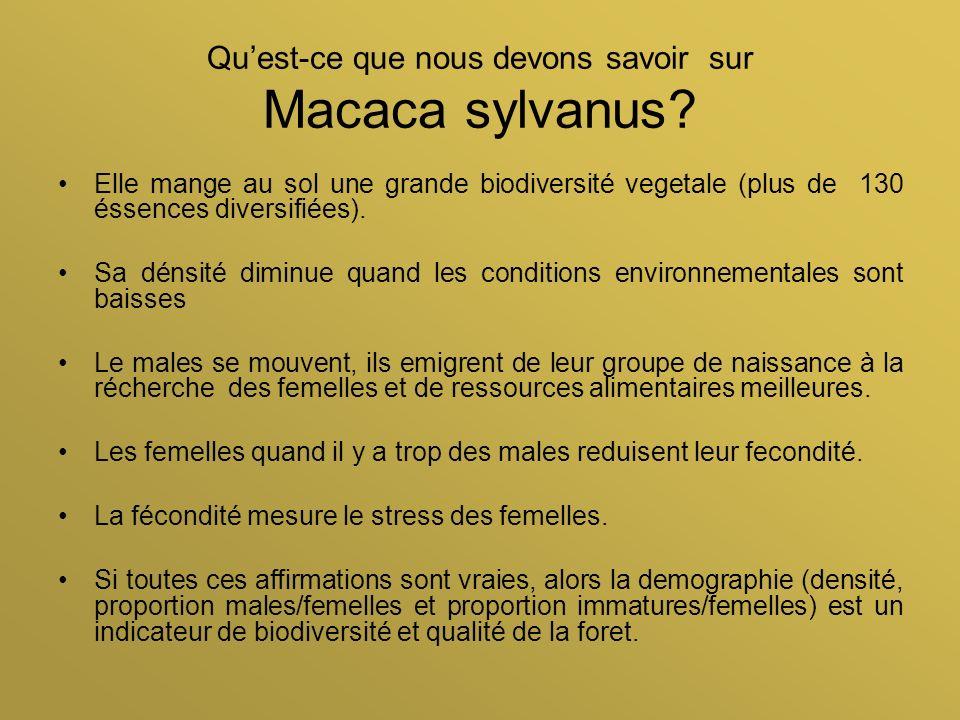 Quest-ce que nous devons savoir sur Macaca sylvanus? Elle mange au sol une grande biodiversité vegetale (plus de 130 éssences diversifiées). Sa dénsit