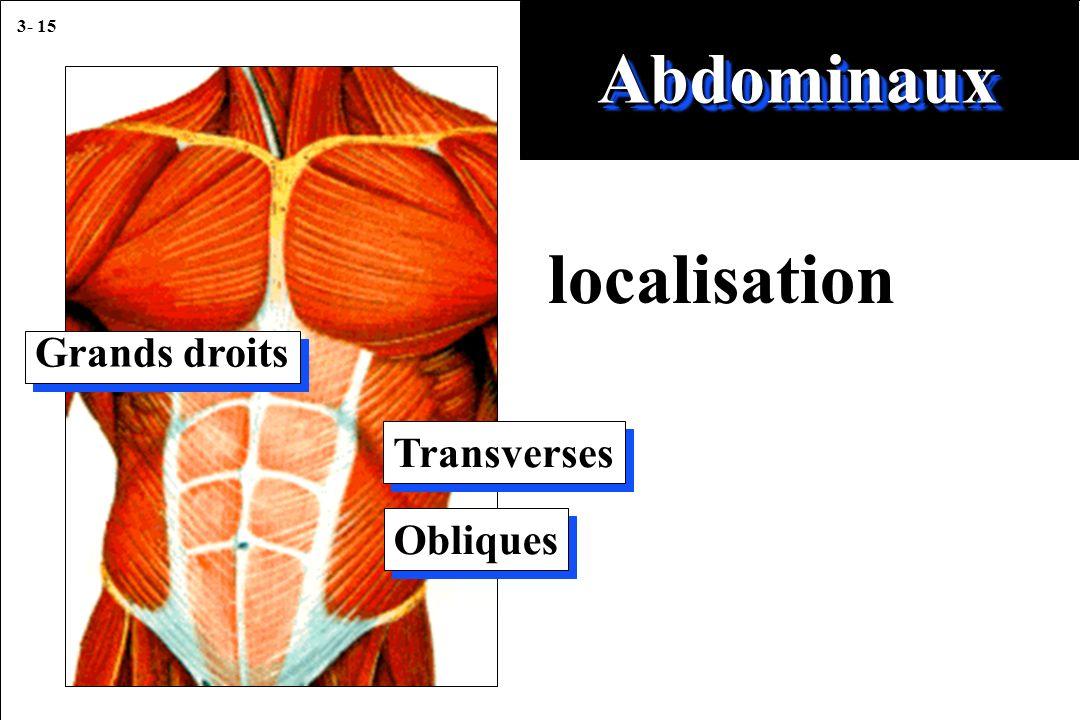 3- 15 localisation AbdominauxAbdominaux Grands droits Transverses Obliques