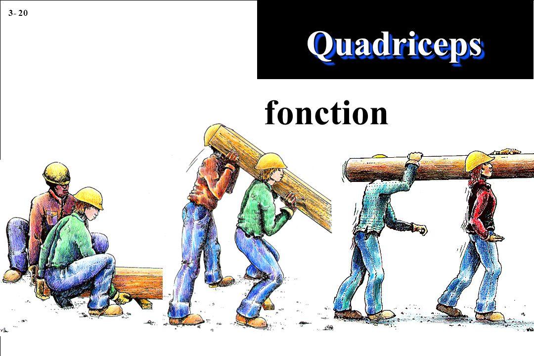 3- 20 QuadricepsQuadriceps fonction
