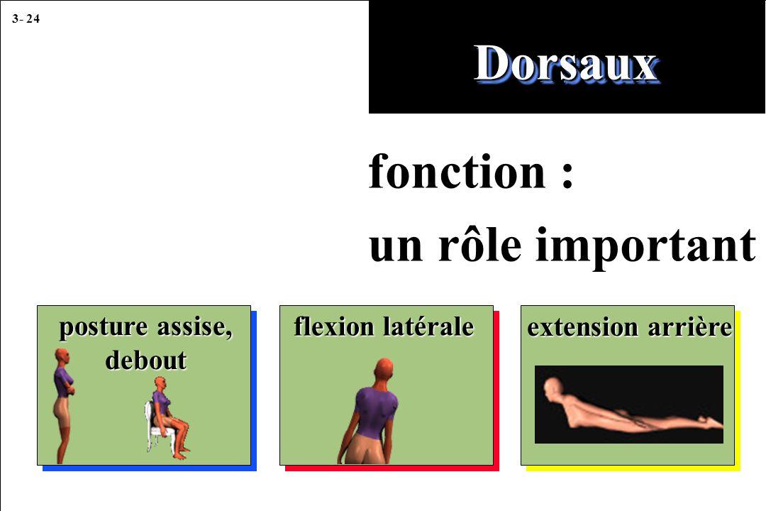 3- 24 fonction : un rôle important DorsauxDorsaux posture assise, debout flexion latérale extension arrière