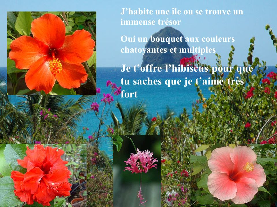 Jhabite une île ou se trouve un immense trésor Oui un bouquet aux couleurs chatoyantes et multiples Je toffre lhibiscus pour que tu saches que je taim